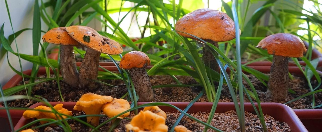 Белые грибы на подоконнике