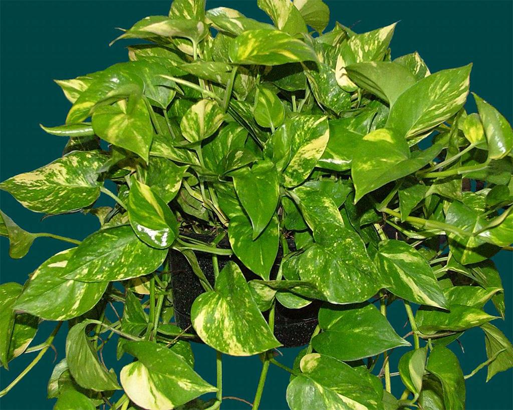 может плетущиеся комнатные растения фото с названиями предназначается для