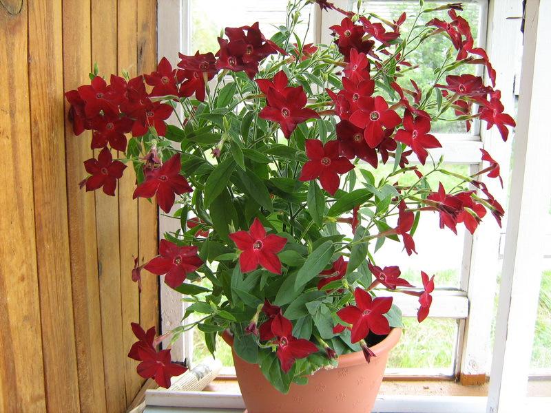 цветок табак