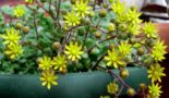 Цветок Аихризон