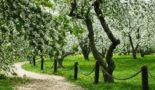яблони в Коломенском парке