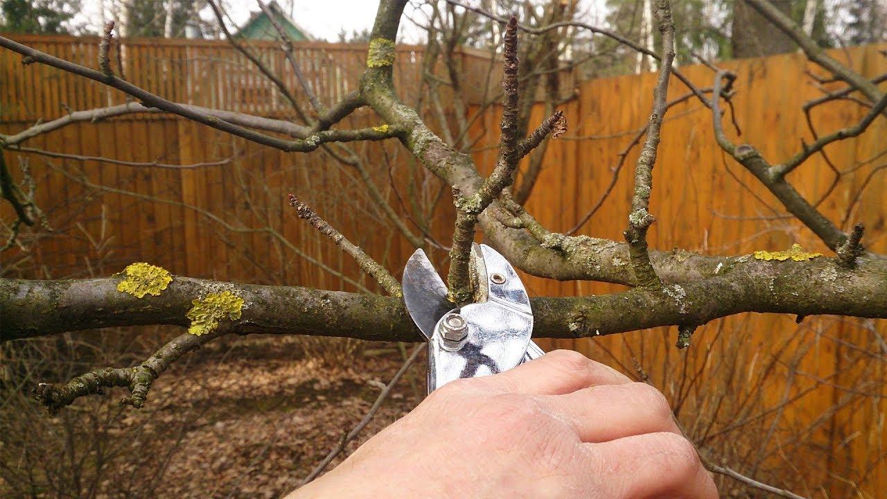 Обрезка груши осенью: схемы для начинающих для подрезки старых и молодых деревьев, инструкция для работы с карликовыми сортами