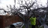 Обрезка старых яблонь весной: схема омолаживающей стрижки, кардинальная обрезка и шоковая, сроки проведения процедур и уход после них
