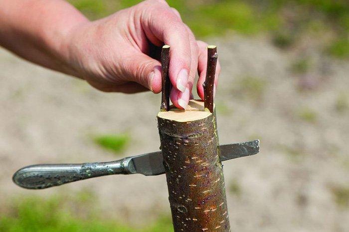 Прививка яблонь весной для начинающих, пошаговое выполнение работ от заготовки черенков до последующего ухода