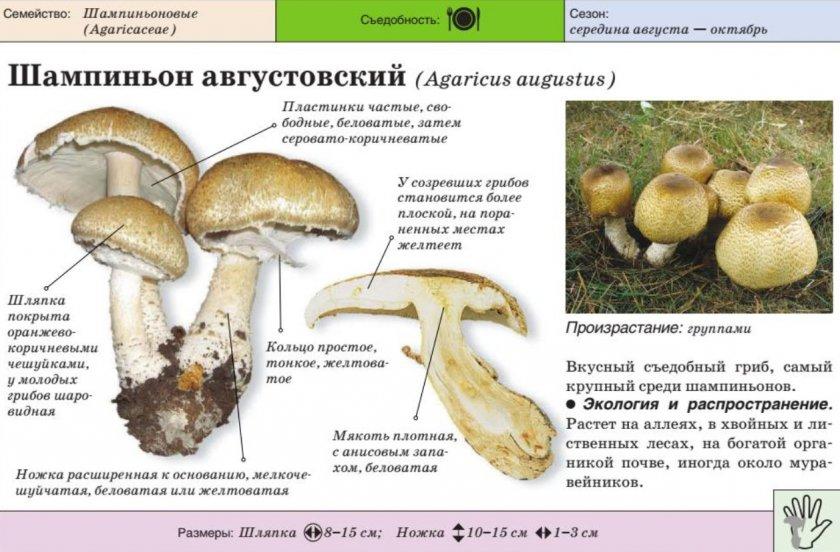 Шампиньон августовский