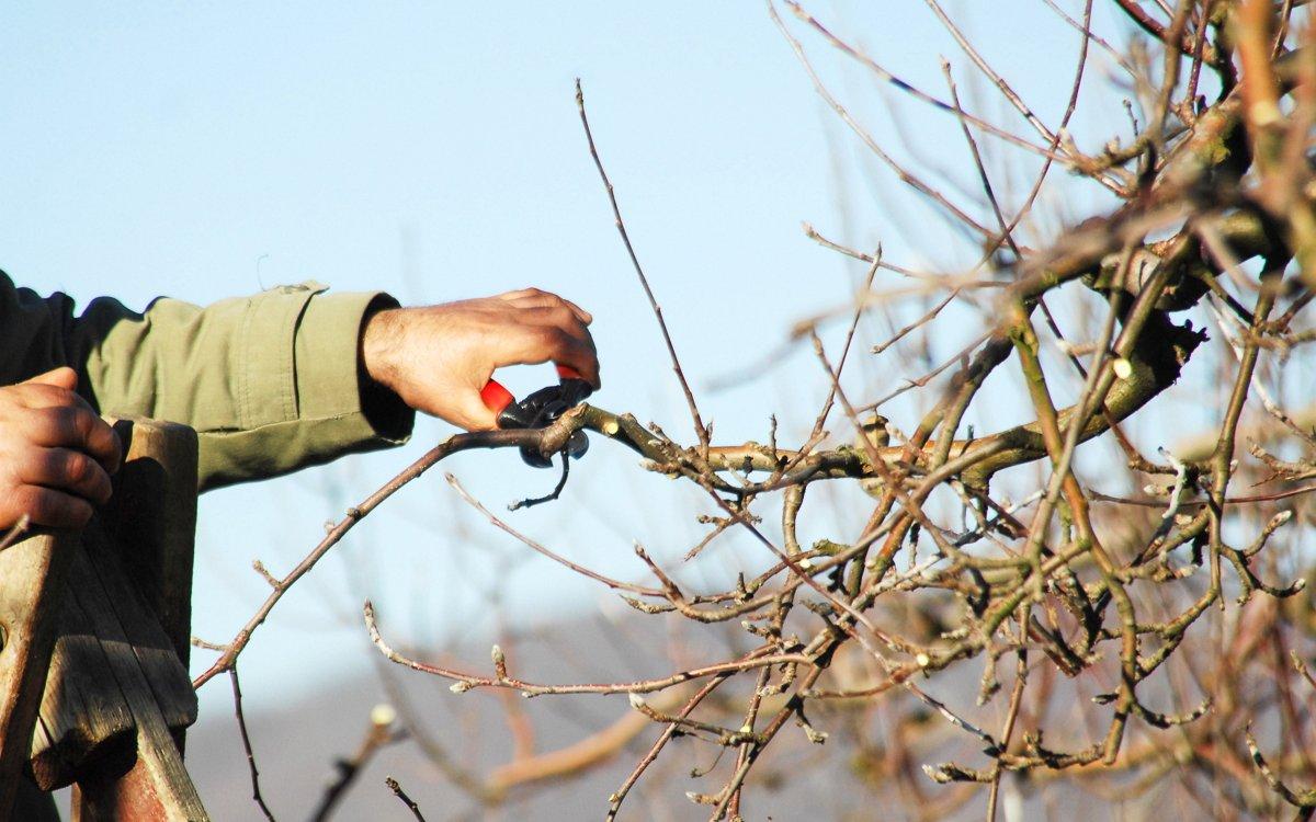 как правильно стричь яблоню