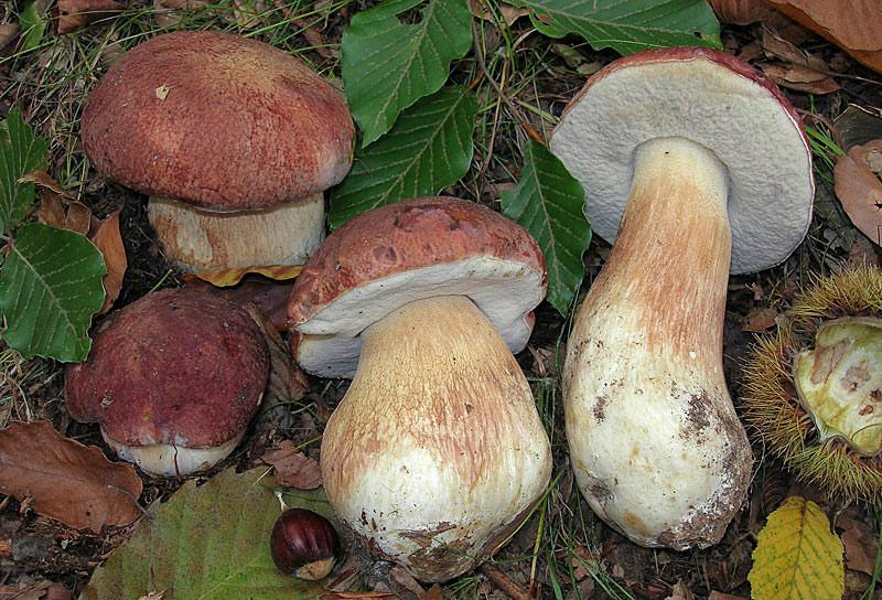 Белый гриб боровой