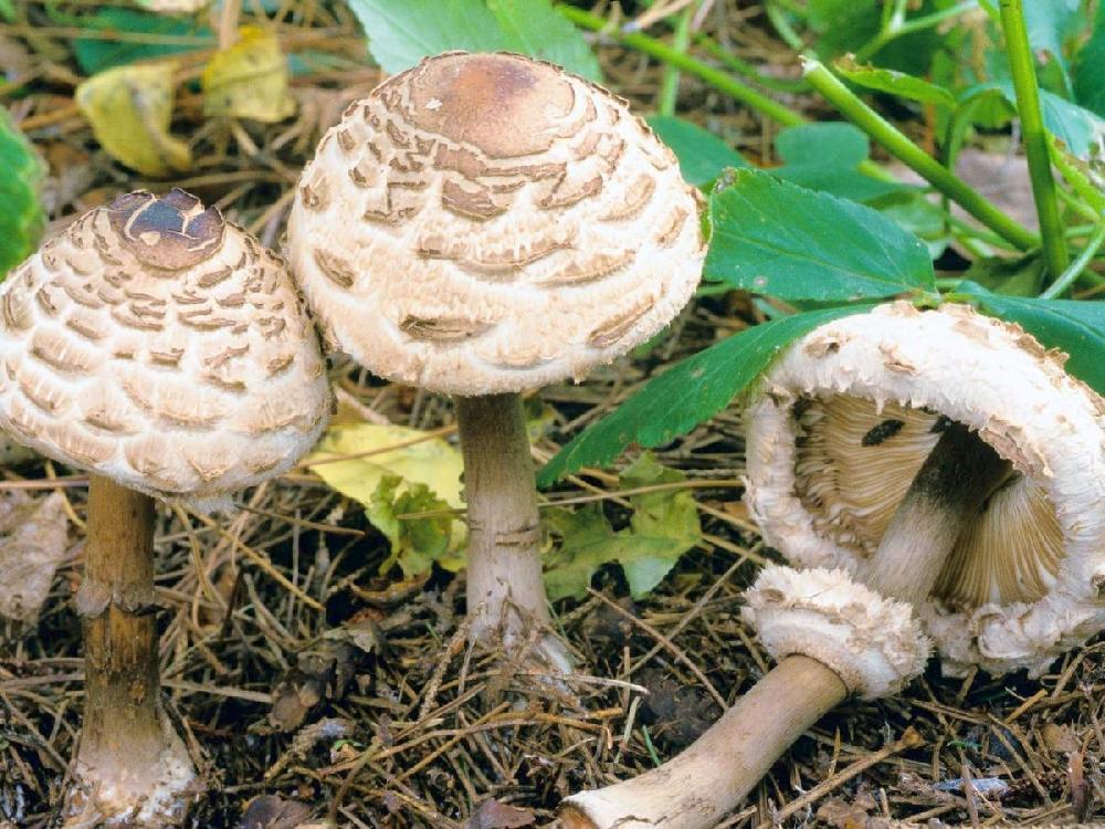 гриб курник фото и описание выходили сериями