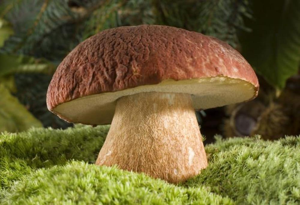 ядовитые губчатые грибы фото что вашими душами