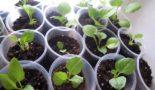 Когда сажать однолетние георгины на рассаду