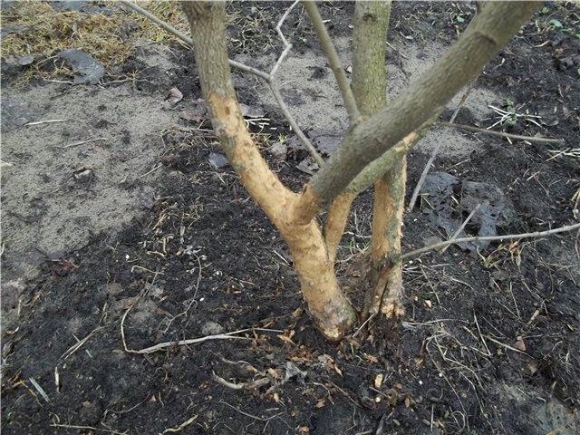 поврежденная кора дерева