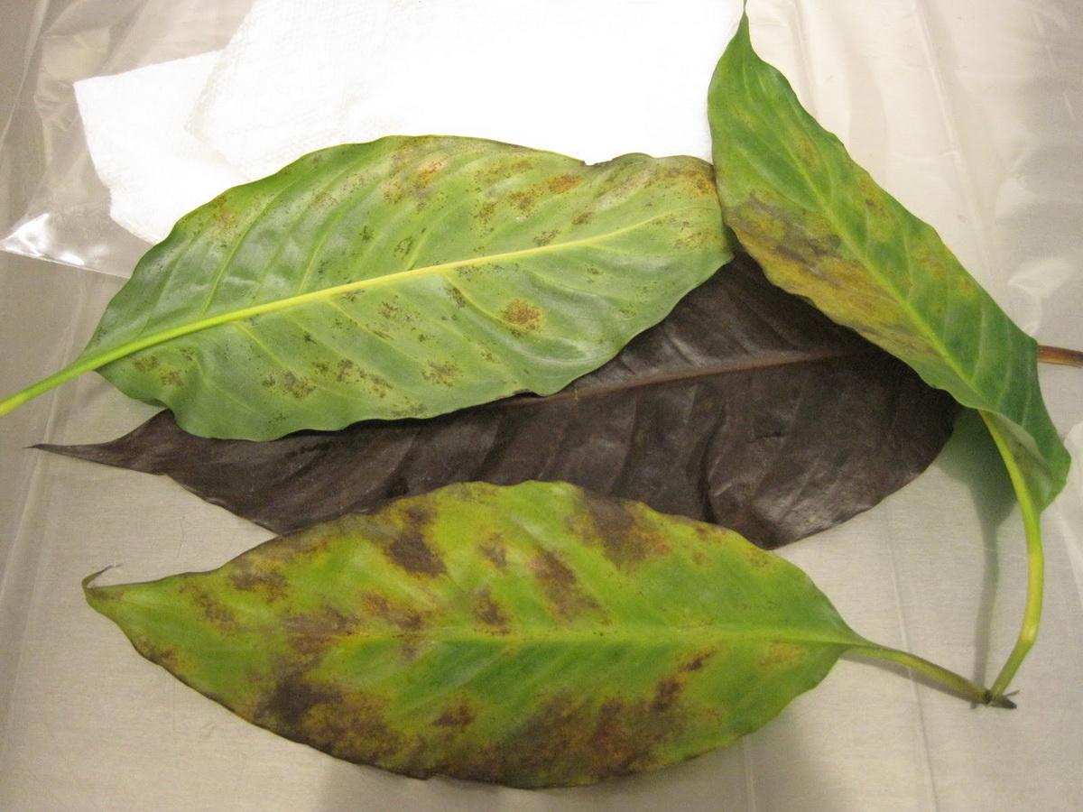 листья пассифлоры