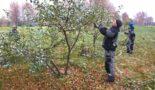 уход за яблоней осенью