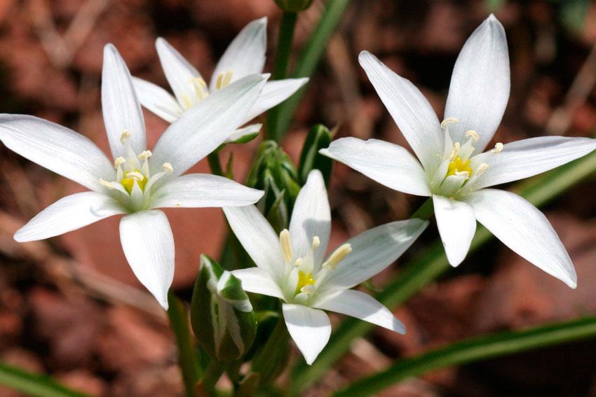 Бисерник цветение и уход - Сад огород