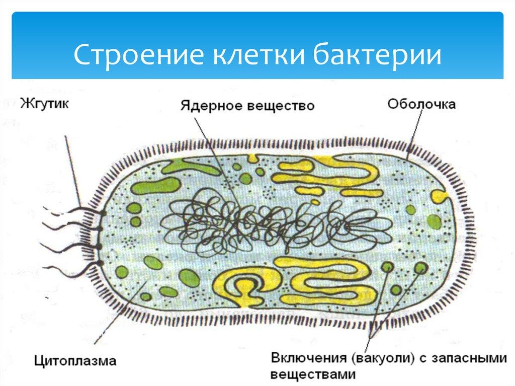 Строение клетки бактерии