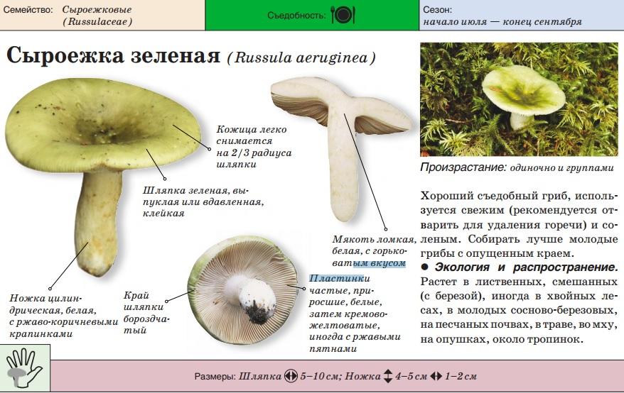 Перепончатые грибы с описанием и фото