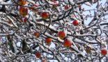 Защита яблонь от морозов