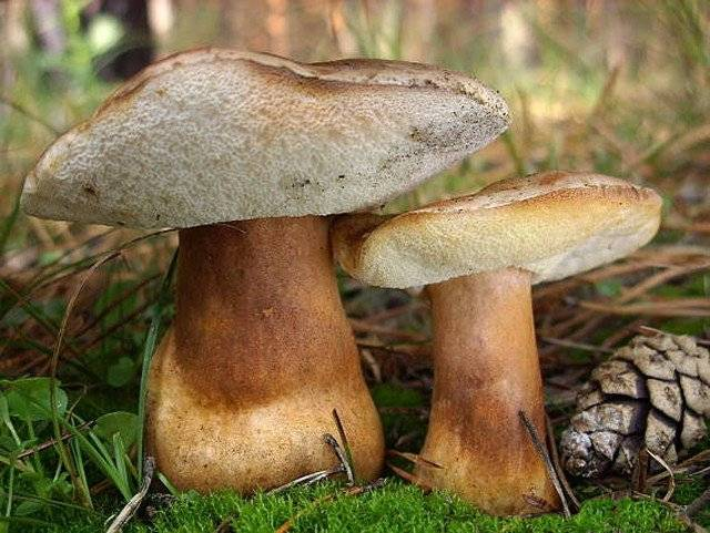 Каштановый гриб