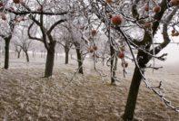 Как укрыть яблони на зиму