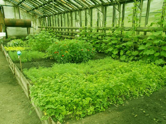 Выращивание кинзы в теплице зимой на продажу: рентабельность