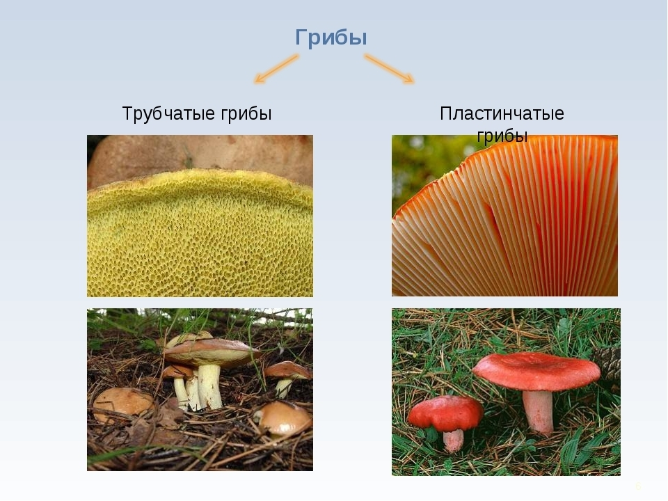 Виды грибов