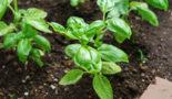 Выращивание базилика в открытом грунте