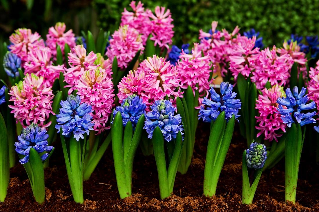 Гиацинт и его разновидности, выращивание и уход за растением в открытом грунте, способы размножения