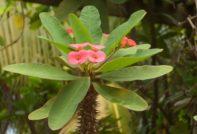 Комнатный молочай: как выглядит цветок, фото во время цветения, особенности выращивания и ухода