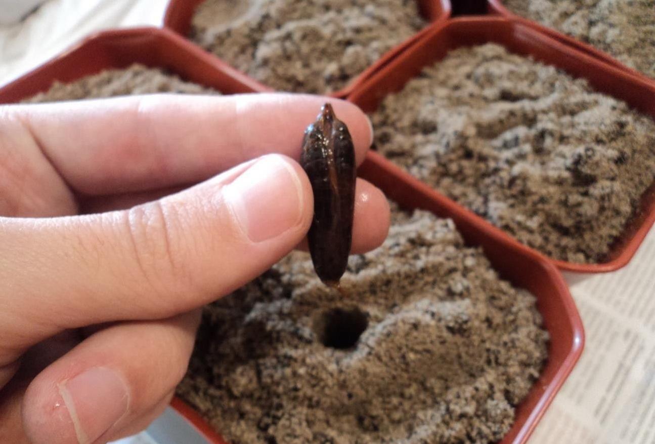 Как вырастить финик из косточки