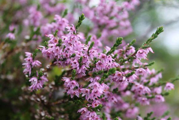 Вереск: описание растения и фото