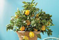 Комнатный лимон: особенности выращивания, описание с фото, стимуляция цветения и плодоношения