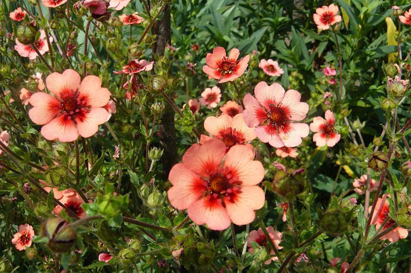 Популярные сорта лапчатки и ее описание с фото, способы выращивания цветка и методы размножения