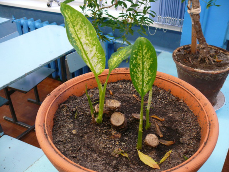 уход за молодым растением диффенбахии