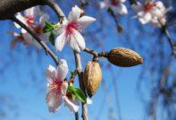 Особенности выращивания миндаля, пошаговая посадка и требования к уходу, способы размножения и возможные трудности